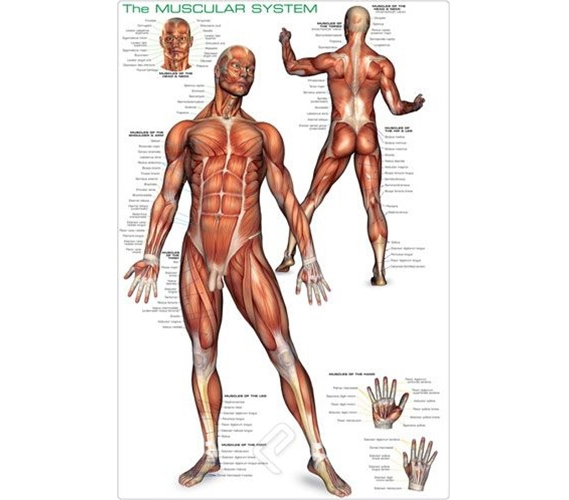 Muscular System Posters Muscular System Poster Human