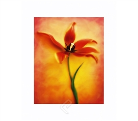 Tulip Fire II College Dorm Room Poster bright orange color dorm room size poster featuring gorgeous Tulip