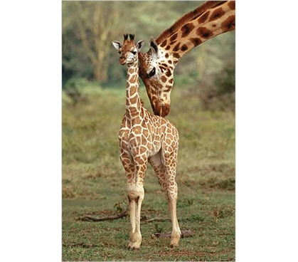 Giraffe And Baby Poster College Supplies Dorm Room Posters