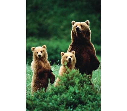 Three Bears College Dorm Poster Outdoor Wildlife